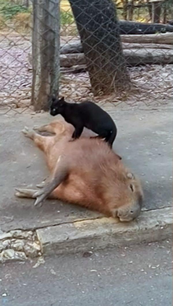 ▲水豚舒服到翻肚享受。(影/美聯社