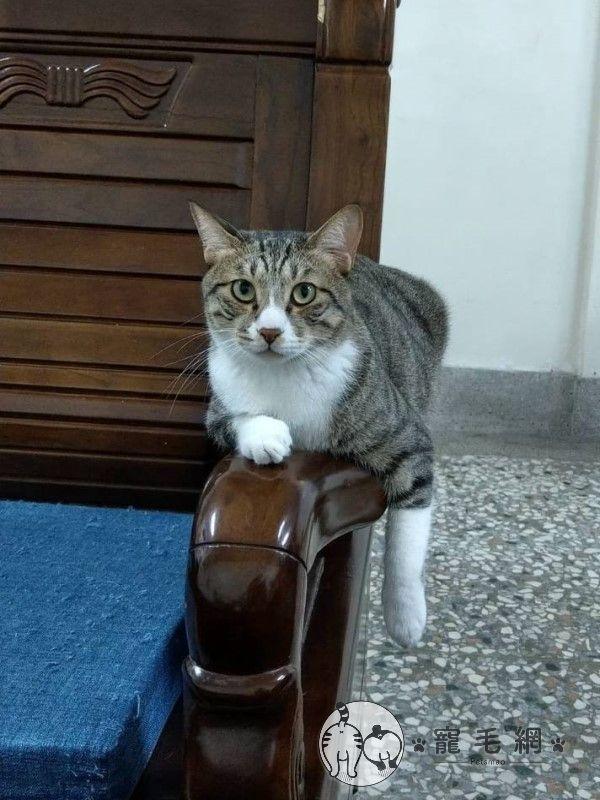 ▲網友劉先生家裡有一隻白底虎斑貓「土豆」,目前已經4歲了。(圖/網友劉柚柚授權提供)