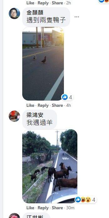 ▲其中一位網友貼出被兩隻鴨子擋路的畫面,而另一位更倒楣的被一群綿羊擋路,完全無法通行。(圖/擷取自爆廢公社公開版)