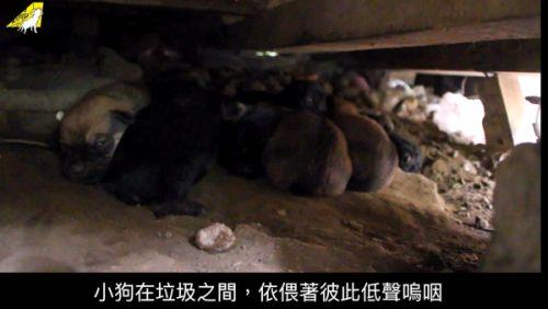 ▲因未落實犬隻節育,台灣各處角落都有這種情形。(圖/相信動物授權提供)