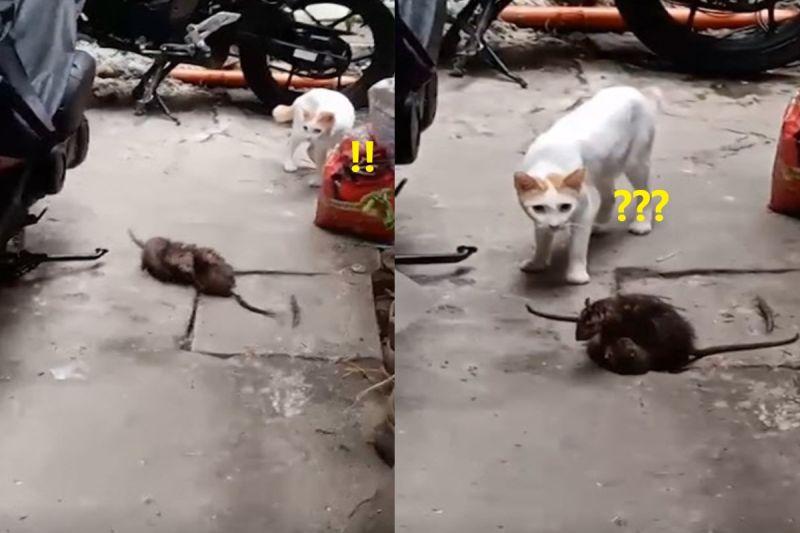 影/傻眼貓咪!兩隻老鼠街頭打架 喵全程呆看笑翻網友