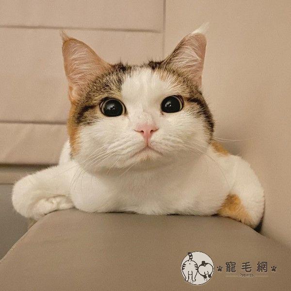 ▲這天Lisa看見牠又折手手趴在沙發上,睜大雙眼嘟小嘴的模樣非常可愛!(圖/粉專噠麗&小咪之小咪家族授權提供)