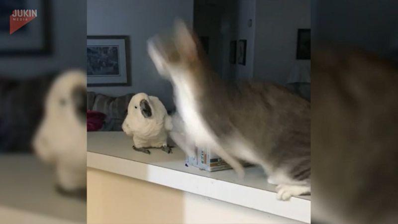 ▲貓咪「神之一躍」瞬間飛起飛。(影/美聯社