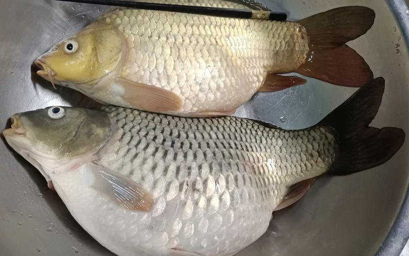 ▲網友分享鄰居送了兩條魚給自己,說是鯽魚,而且肚子裡面還有魚卵。(圖/廚藝公社)