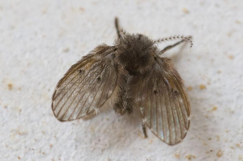 ▲翅膀圓圓呈黑灰色或帶有一些白色斑點,靜靜貼在牆上不動,如果遇到騷動即會飛起來,但很快就又停下來,不太善飛,此蟲稱為「蛾蚋」。(示意圖/翻攝自維基百科)