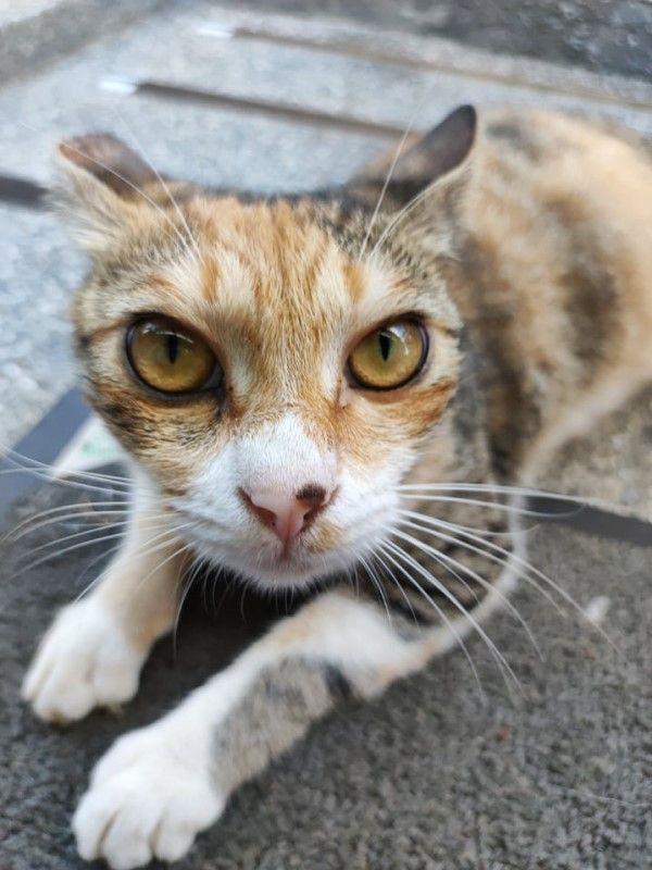 ▲三花貓「店長」是一隻親人又傲嬌的貓。(圖/網友林欣彤授權提供)