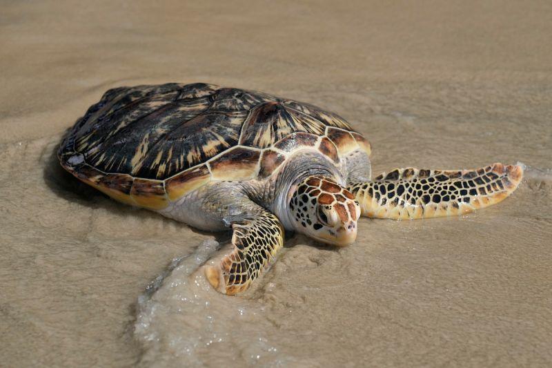 ▲日本日前救起一隻誤闖定置網的小海龜,在安置期間,小海龜超過一個月持續排泄塑膠垃圾,凸顯塑膠垃圾威脅海洋生物的嚴重問題。示意圖,非當事海龜。(圖/美聯社/達志影像)