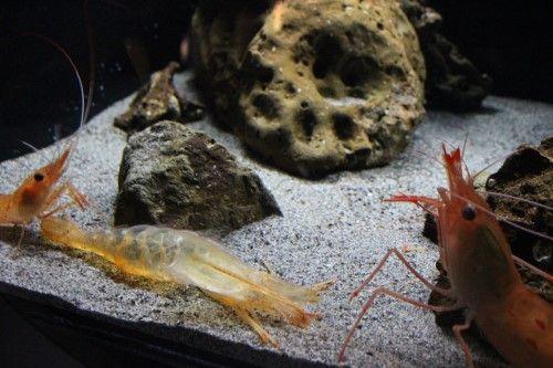 ▲這是眾人熟悉的蝦子樣貌。(中間是脫下來的殼)(圖/Twitter@