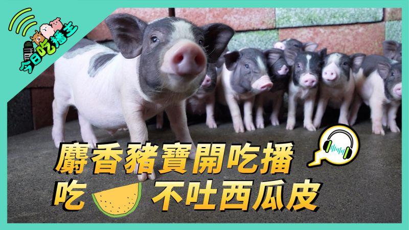 今日吃播主/麝香豬寶開吃播 吃西瓜不吐西瓜皮