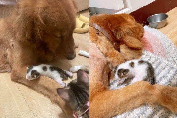 ▲BB經常將奶貓託給秘魯照顧,讓牠當現成「奶爸」!(影/網友Yun