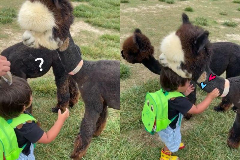 羊駝見小孩討抱 大方上前「抱滿懷」:我也喜歡你!