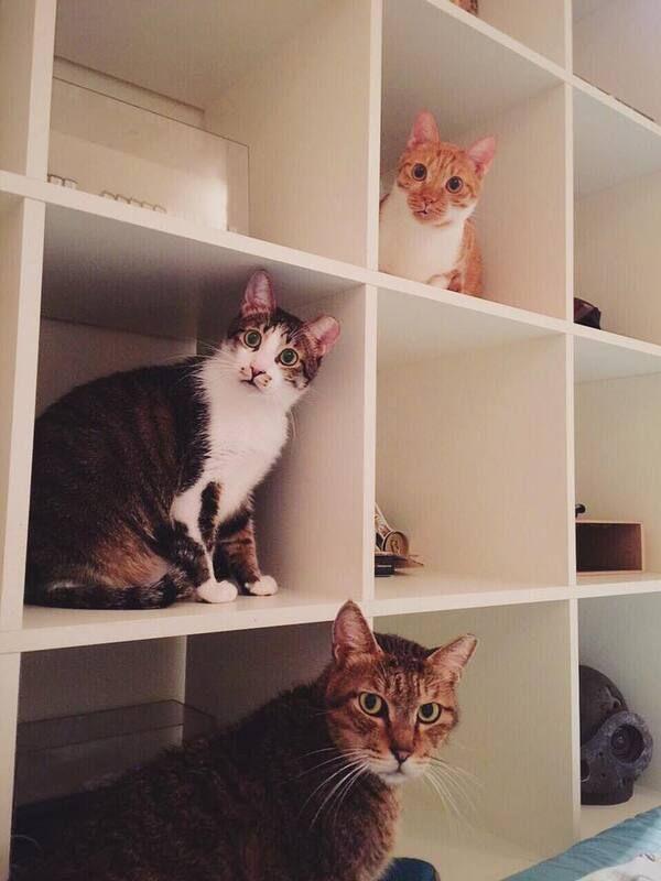 ▲辛卡米克心想有能力要養三隻貓才熱鬧,隨口以草尼馬幫貓取名的玩笑話竟成真。(圖/辛卡米克授權)