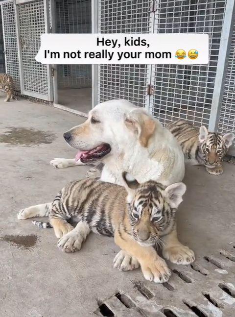 ▲三隻小屁虎把狗狗當成真媽媽,天天形影不離!(圖/TikTok帳號cutehomeee)