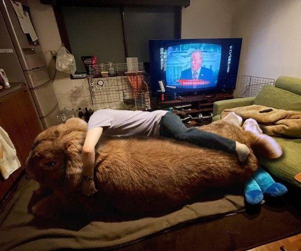 ▲晚上就趴在牠的身體上睡覺,超級療癒!(圖/twitter帳號koedo_tyan)