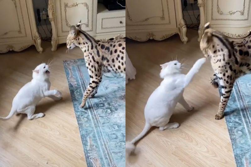 ▲白貓被驚嚇後瘋狂出拳,藪貓毫不生氣還淡定安撫對方。(圖/TiKTok帳號:mila_solovyeva)