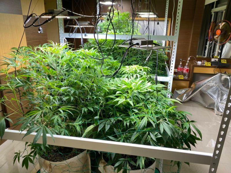 ▲警方在透天厝查獲市值大約500萬元的大麻。(圖/三民二分局提供)