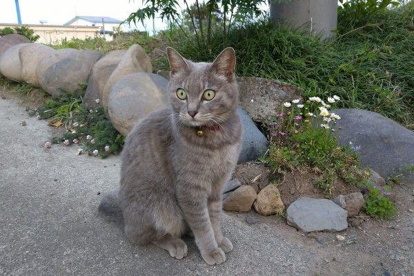 ▲推主家養了一隻4歲的灰貓「Kokoa」。(圖/twitter帳號koebi_koimo)