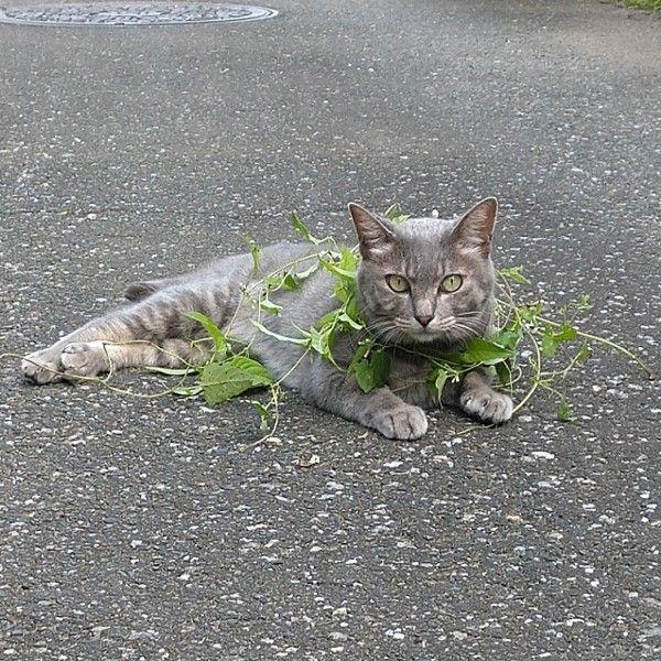 ▲日前推主在除草,摘下一條藤蔓繞在牠身上……(圖/twitter帳號koebi_koimo)
