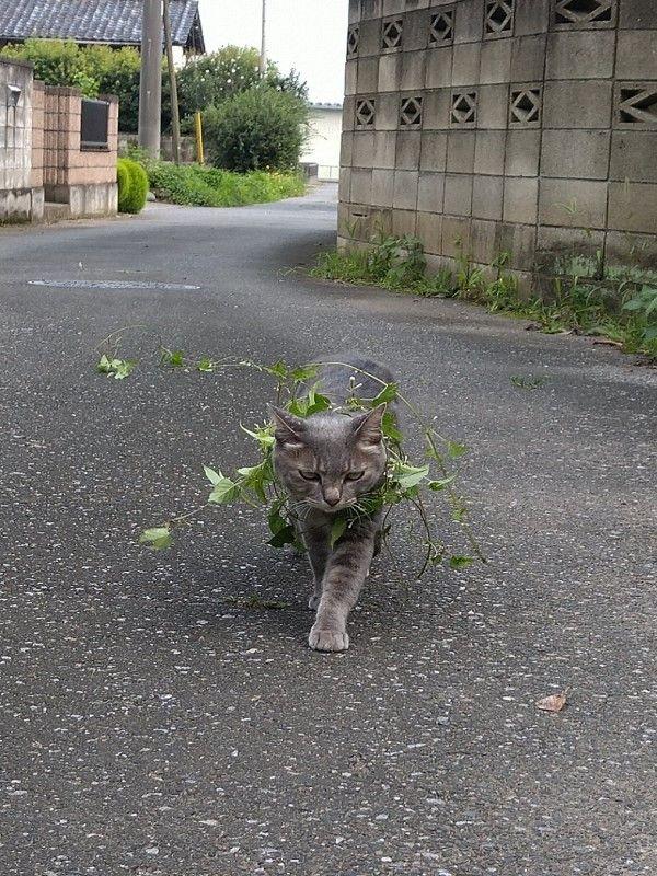 ▲沒想到牠竟然沒把藤蔓甩掉,反而霸氣地走起「貓步」。(圖/twitter帳號koebi_koimo)