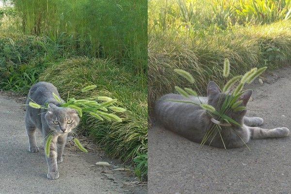 ▲想玩逗貓棒時,從背後抽一根出來就可以了!(圖/twitter帳號koebi_koimo)