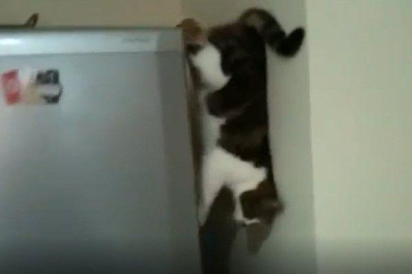 ▲沒想到牠竟然沿著冰箱側邊,背靠著牆壁垂直縱走!!(圖/美聯社AP+Jukin
