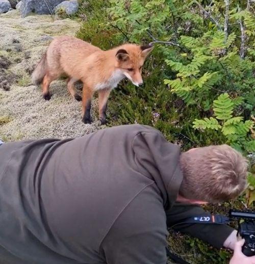 ▲好奇小狐狸走近攝影師,看看他正在做什麼?(圖/Instagram帳號:jens.birkeland)