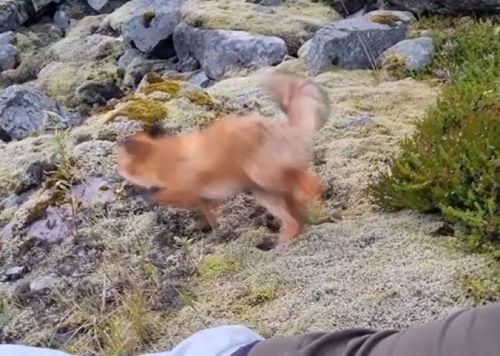 ▲狐狸:喔不!我不是故意的抱歉啦!!(逃)(圖/Instagram帳號:jens.birkeland)