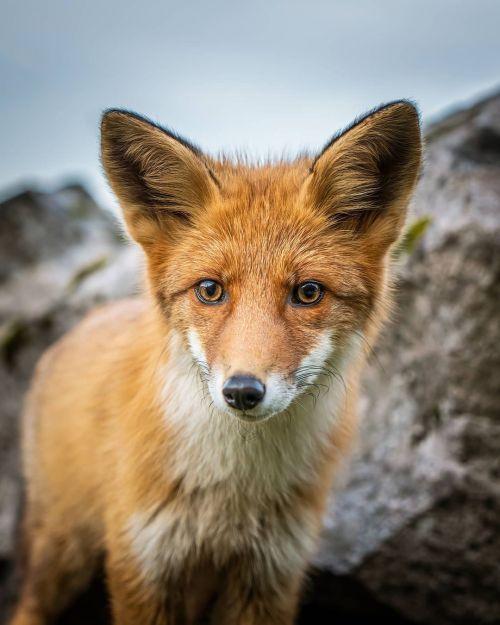 ▲於是祖克蘭拍下了非常驚豔的小狐狸近照。(圖/Instagram帳號:jens.birkeland)