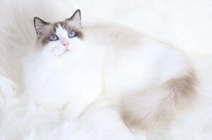 ▲日前154隻走私品種貓依法遭安樂死掀起廣大討論,有內行網友就分享正規品種貓舍的成本,並呼籲別因價格尋求非正規貓舍的管道購買名種貓。(圖/翻攝Dcard)
