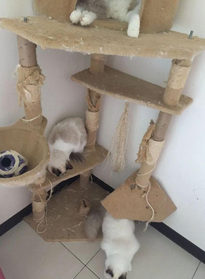▲有內行網友分享正規品種貓舍的成本。(圖/翻攝Dcard)