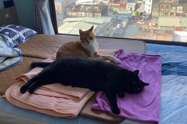 ▲網友Ann養了一對兄弟貓「哺哺」與橘白貓「勒勒」,兩隻貓體型都比一般貓長,不過哺哺特別巨大!(圖/網友Ann