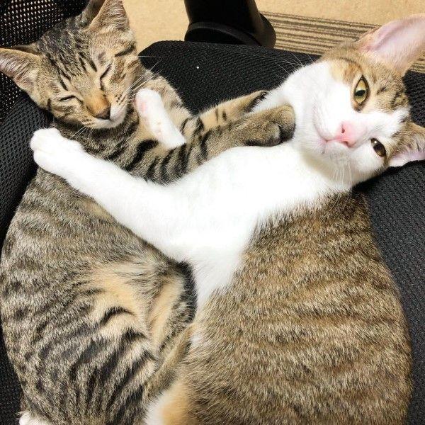 ▲推主養了兩隻貓咪,分別是虎斑貓「Kaki(左)」與白底虎斑「Tette」,兩隻貓平時感情不錯。(圖/twitter帳號o88358659)