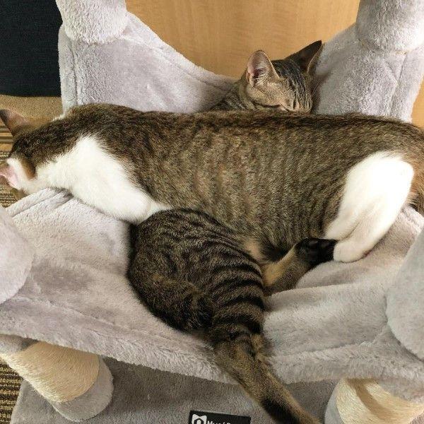 ▲常常可看見推主分享兩隻貓咪睡在一起的溫馨畫面。(圖/twitter帳號o88358659)