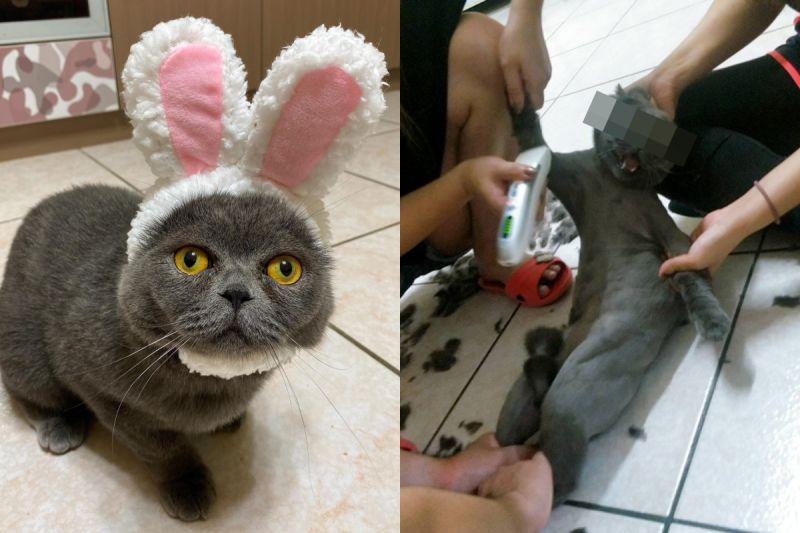 ▲貓被剃毛氣到表情變形,模樣就像要上處刑台!(圖/網友松噯授權提供)