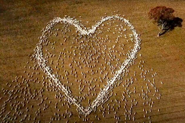 ▲澳洲一名牧羊人替逝去的親人以羊隻排出愛心悼念。(圖/美聯社提供)