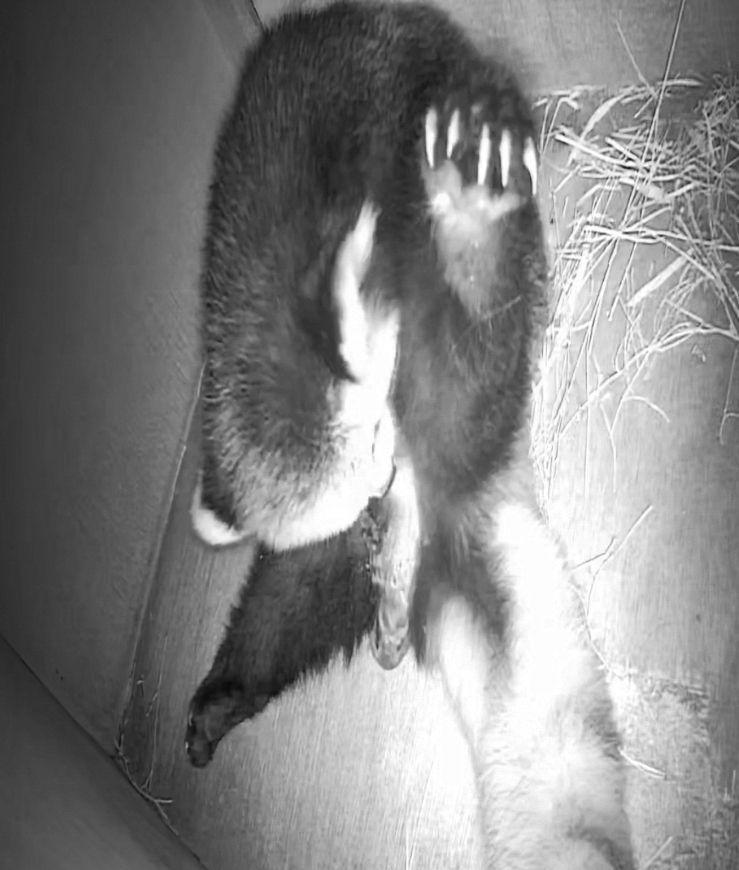 ▲監視器拍到小貓熊「美可」正在生產的影像。(圖/Taipei