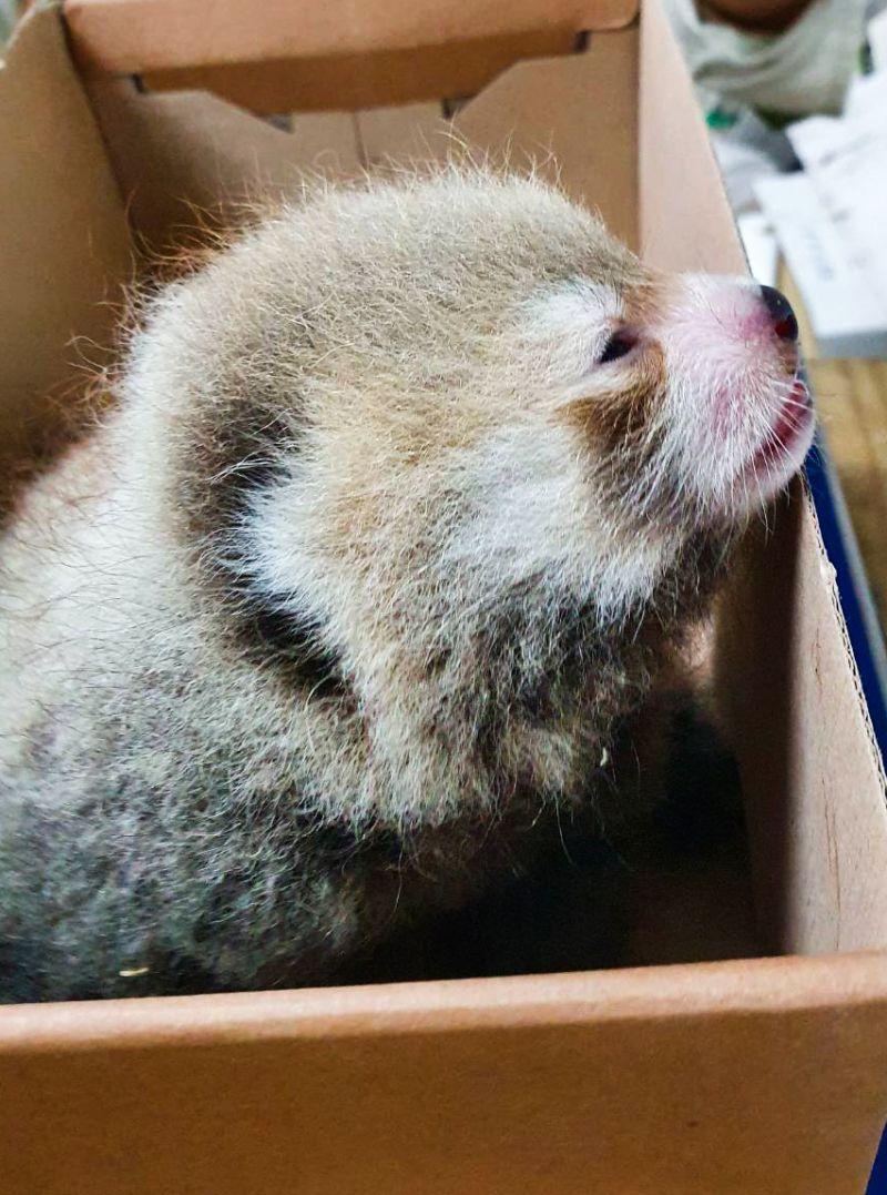 ▲三週大的小貓熊寶寶剛開眼。(圖/吳佳昱攝,Taipei