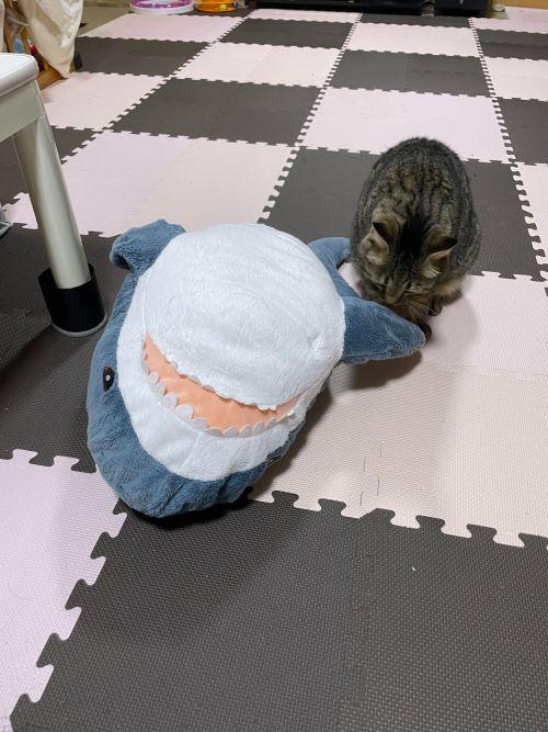 ▲貓:那欸安捏?(怎麼回事)我的鯊怎麼不一樣了???(圖/Twitter帳號:yonasawa)