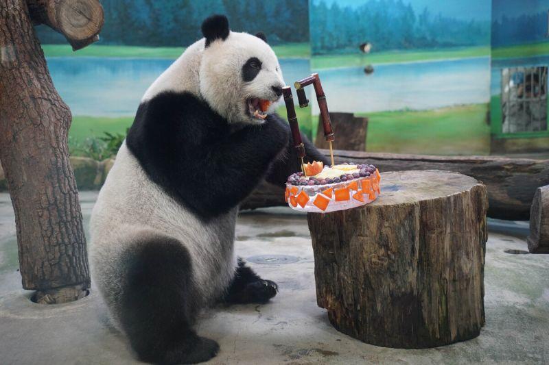 ▲「圓仔」今天代班爸爸「團團」,也獲得一個小蛋糕分享生日的喜悅。(圖/Taipei Zoo授權提供)