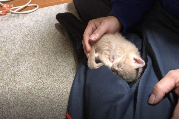 ▲這天小橘貓「Hinoki」正在把拔的大腿上睡覺。(圖/AP+Jukin