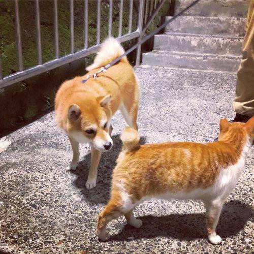 ▲隊員一號奈奈正在聞隊員二號胖胖的味道!(圖/柴犬Nana和阿楞的一天授權提供)