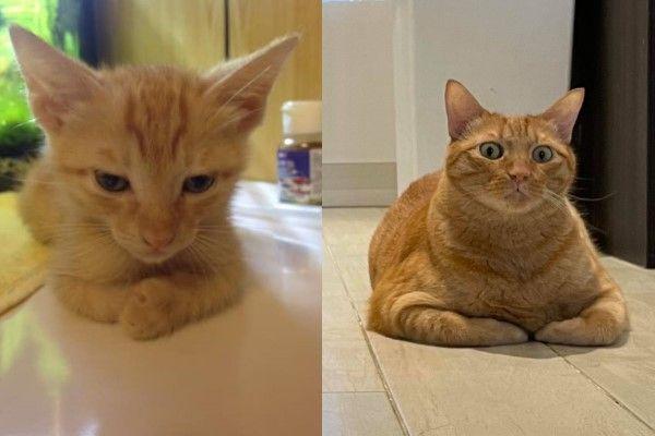 ▲「Dika」是一隻身材壯碩的橘貓,Mika領養牠時才兩個月大,現在已經是8公斤巨貓!(圖/網友Mila