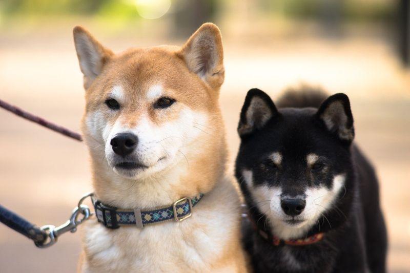 ▲近日有網友好奇在PTT詢問大家「現在最夯的狗是柴犬嗎?」結果全場紛紛贊同,直誇「柴犬真的超可愛,而且很乖、不會亂叫,又不會咬人。」(圖/取自pixabay)