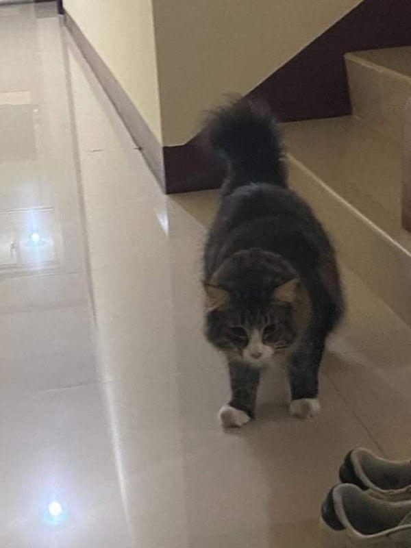 ▲鄭小姐在半夜兩點聽見門外有動靜,一開門發現竟然是一隻巨大的挪威森林貓!(圖/網友鄭涵文授權提供)