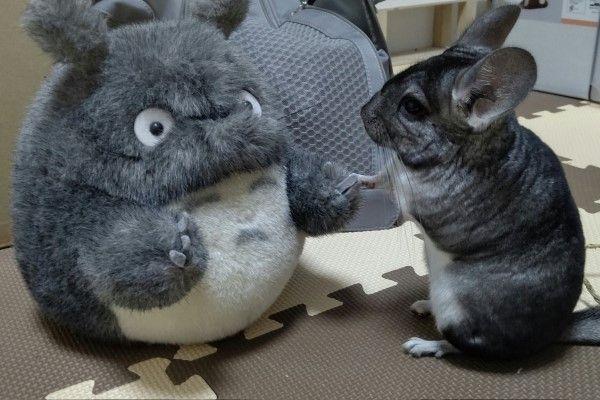 ▲日前推主放了一隻龍貓玩偶在Rako面前,沒想到牠竟然與玩偶牽手手!(圖/twitter帳號domani0531)