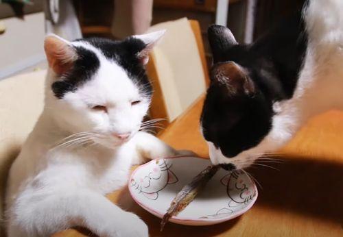 ▲連其他貓來嗅牠的食物都不為所動。(圖/Youtube帳號:かご猫