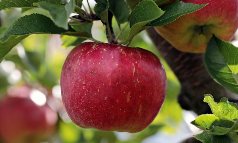 ▲網友們紛紛一面倒留言表示,狗狗最愛吃的水果為「蘋果」。(示意圖/翻攝自pixabay)