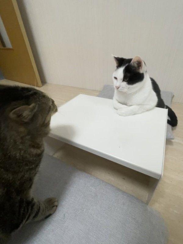 ▲Noburu:醫生,偶有煩惱! Beru:吃就對惹! Noburu:偶失戀惹! Beru:那就吃罐罐吧!(圖/twitter帳號CatNaviDesk)