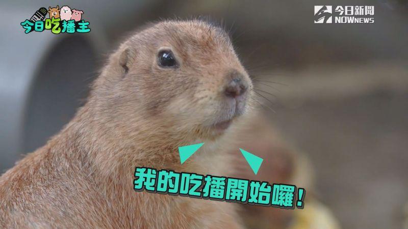 ▲超萌土撥鼠吃播,大人小孩都喜歡。(圖/NOWnews