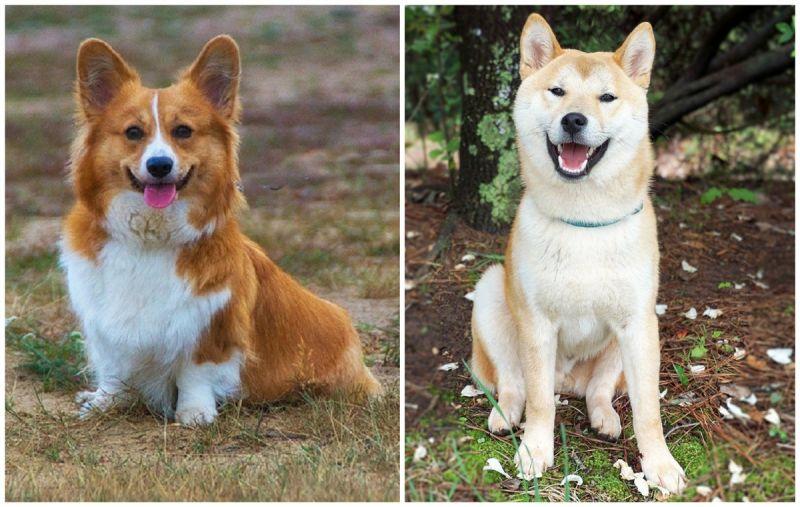 「柴犬vs柯基」怎麼選?網友答案竟一面倒:超療癒又好養